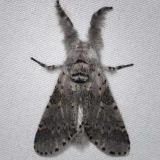 7937 Gray Furcula Moth Thunder Lake UP Mich 6-21-14