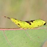 7937 Gray Furcula caterpillar on Cottonwood Deer Haven Preserve Delaware Co 8-29-16 (5)
