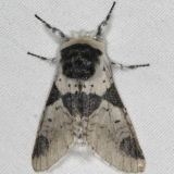7941 Modest Furcula Moth Thunder Lake UP Mich 6-21-15