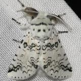 7942 Black-etched Prominent Moth Hidden Lake Everglades Natl Pk 3-9-13