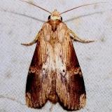 7947 Nystalea eutalanta Mahogany Hammock Everglades National Pk 2-25-12