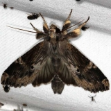 7947 Nystalea eutalanta Pineland Everglades Fl 2-26-15
