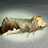 7953 Orange-humped Mapleworm Moth Gold Head Branch St Pk 2-16-12