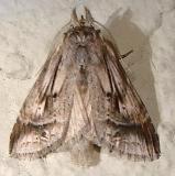 7957 Black-spotted Prominent Moth Juniper Springs Ocala Natl 3-14-12