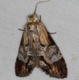 7958 Gray-patched Prominent Moth Turkey Lake Shawnee St Pk 6-12-15