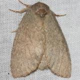 7974 Drab Prominent Moth yard 5-26-12