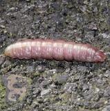 7974 Prepupal Misogada unicolor Drab Prominent Moth Black Hand Gorge 9-16-15