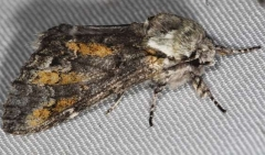 7975 Mottled Prominent Moth BG Lake of the Woods Ontario 7-20-16 (182a)_opt