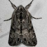 7975 Mottled Prominent Moth Campsite 119 Falcon St Pk Texas 10-24-16_opt