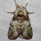 7975 Mottled Prominent Moth Kissimmee Prairie St Pk 3-16-13