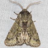 7975 Mottled Prominent Moth Little Talbot Island St Pk 2-21-13