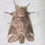 7983 Oblique Heterocampa Moth Kissimmee Lake St Pk 2-21-12
