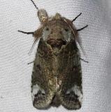 7985 Small Heterocampa Moth Lake Kissimmee St Pk 3-8-14