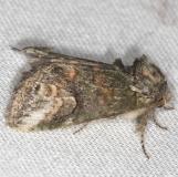 7985 Small Heterocampa Moth yard 6-11-13