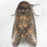 7985 Small Heterocampa Moth yard 8-12-12