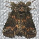 7985 Small Hetrocampa Moth Copperhead firetower Shawnee St Pk 8-6-16 (155a)_opt