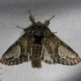 7990 White-blotched Heterocampa Moth Thunder Lake Mich UP 6-24-13
