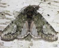 7990 White-blotched Heterocampa Moth Thunder Lake UP Mich 6-25-12