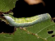 7994 Heterocampa guttivitta Prominent Caterpillar BG Wolf's Den Shawnee St Pka 8-7-16 (39)_opt
