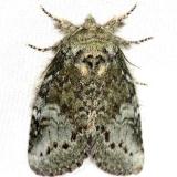7994 Saddled Prominent Moth Thunder Lake Mich 6-21-13