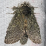 7994 Saddled Prominent Moth yard 7-28-13