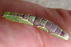 7998 Variable Oakleaf Caterpillar 7998 Wolfe Park Knox Co Oh 9-11-10