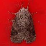 7998 Variable Oakleaf Caterpillar Moth Copperhead firetower Shawnee St Forest BG 8-6-16