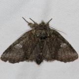 7998 Variable Oakleaf Caterpillar MothCopperhead firetower Shawnee St Pk 8-6-16 (7a)_opt