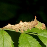 8005 Morning Glory Prominent caterpillar on multiflora Deer Haven Preserve Delaware Co 8-29-16 (15)