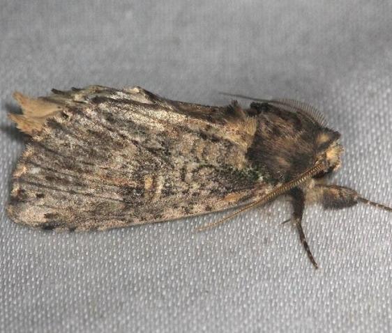 8005 Morning Glory prominent Moth yard 6-8-13