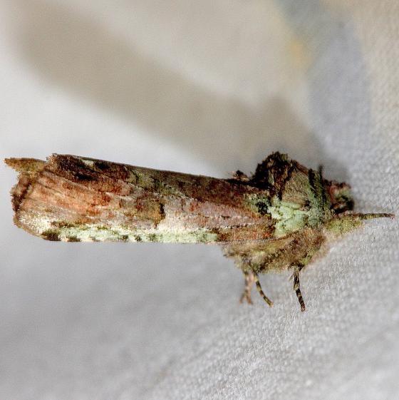 8007 Unicorn Caterpillar Moth Lake Kissimmee St Pk Fl 2-27-13