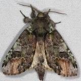 8007 Unicorn Caterpillar Moth Thunder Lake UP Mich 6-21-15