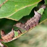 8007 Unicorn Caterpillar on persimmon yard 8-14-07