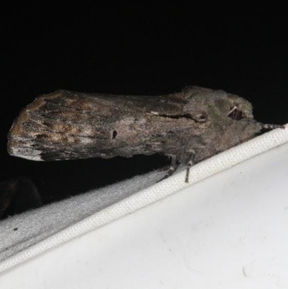 8011 Black-blotched Schizura Moth yard 6-3-15