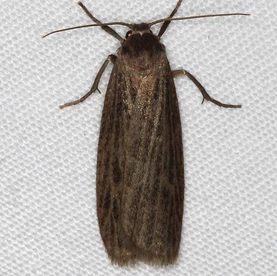 8045 Dark Gray Lichen Moth yard 8-2-16 (5a)_opt
