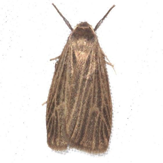 8045.1 Pale Lichen Moth yard 8-16-15 (7)_opt