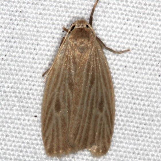 8046 Uniform Lichen Moth Favre Dykes State Park Fl 2-18-17_opt