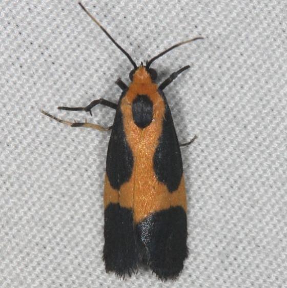 8061 Kentucky Lichen Moth Silver Lake Cypress Glenn Fl 3-16-15