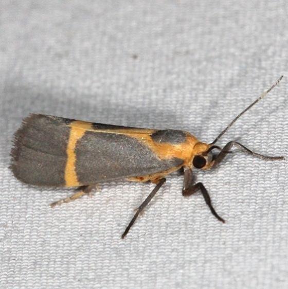 8066 Thin-banded Lichen Moth Campsite 119 Falcon St Pk Texas 10-24-16_opt