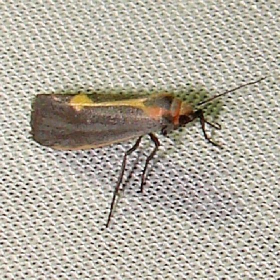 8067 Lead-colored Lichen Moth Payne's Prairie St Pk 3-20-12