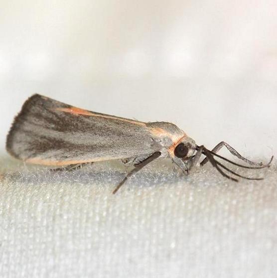 8068 Striated Lichen Moth Little Talbot Island St Pk 2-21-13