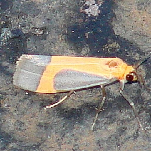 8070 Angel Lichen Moth Moth Along Arizona Rt 59 9-12-12