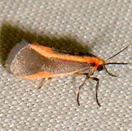 8071 Subject Lichen Moth Gold Head Branch State Park Fl 2-14-12