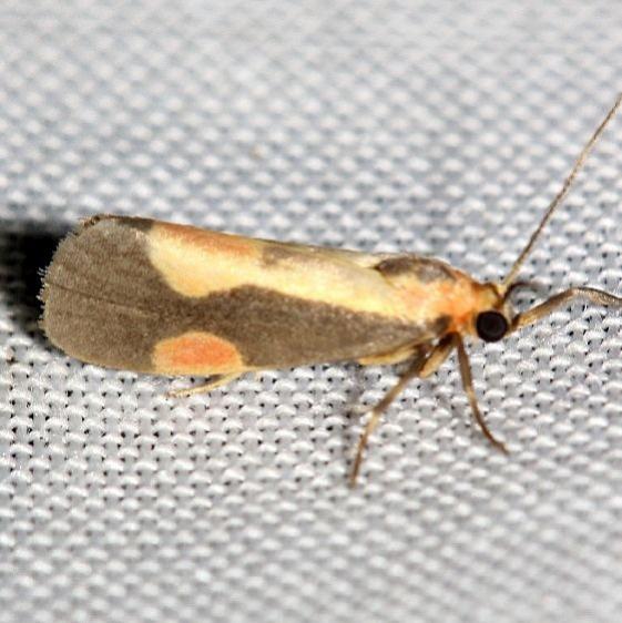 8072 Packard's Lichen Moth yard 8-20-12_opt