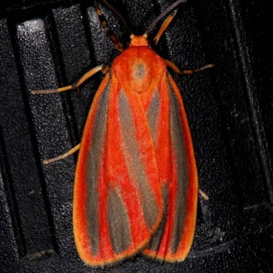 8089 Scarlet-winged Lichen Moth Pineland Everglades Fl 2-26-15