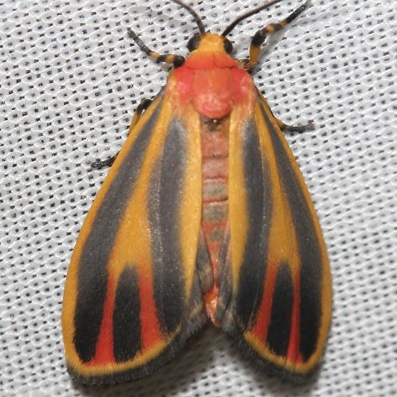 8090 Painted Lichen Moth yard 6-7-12