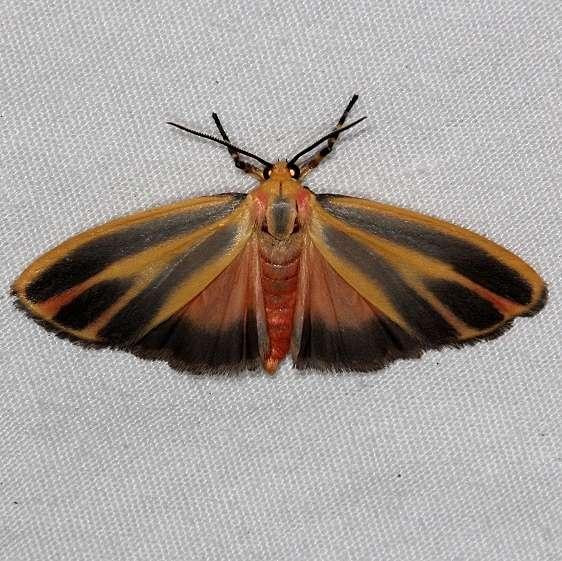 8090 Painted Lichen Moth yard 7-16-14
