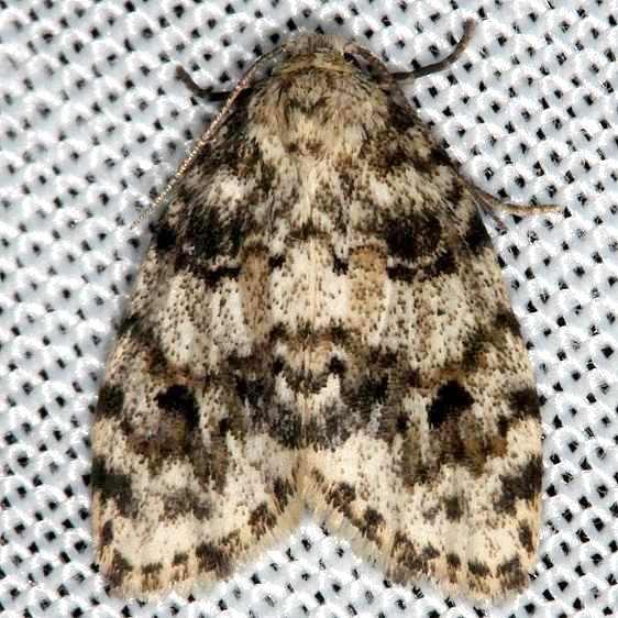 8098 Little White Lichen Moth Clemensia albata Kissimmee Prairie St Pk 2-16-14