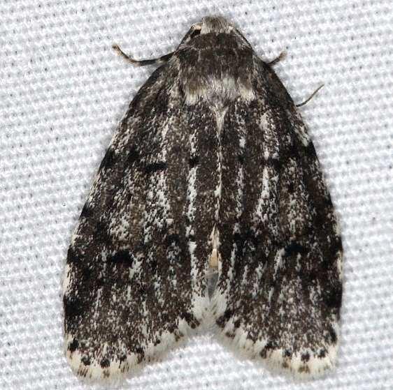 8098 Little White Lichen Moth dark phase yard 8-29-14