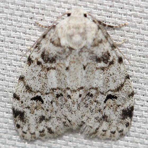 8098 White Lichen Moth Leslie's House Tenn 8-25-12